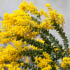 Acacia Mirandole (Bunch of 10) Online