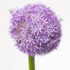 Allium Globemaster (Bunch of 5) Online