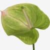 Anthurium Arriba (per Stem) Online