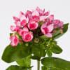 Bouvardia Major Hot Pink (Bunch of 10) Online