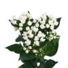Bouvardia Royal Daphne Supreme (Bunch of 10) Online