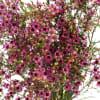 Chamelaucium Emma (Bunch of 10) Online