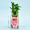 Cute Personalized Two Layer Lucky Bamboo Plant In A Glass Pot (Less Water/Mild Sunlight) Online