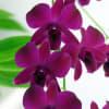 Dendrobium Dark Purple (Bunch of 20) Online