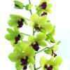 Dendrobium Green (Bunch of 20) Online