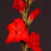 Gladiolus Chinon (Bunch of 10) Online