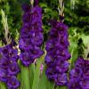 Gladiolus Purple Flora (Bunch of 10) Online
