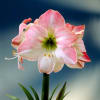 Hippeastrum Apple Blossom (Bunch of 10) Online