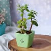 Gift Jade Plant In Ceramic Planter With Cadbury Chocolates - Customized With Message