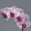 Phalaenopsis Shanghai (per Stem) Online
