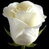 Rose High Magic (Bunch of 20) Online