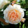 Rose Pigaso (Bunch of 20) Online