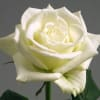 Rose Tinake (Bunch of 20) Online