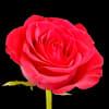 Rose Top Secret (Bunch of 20) Online