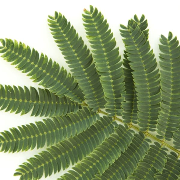 Acacia Clair de Lune (Bunch of 10)