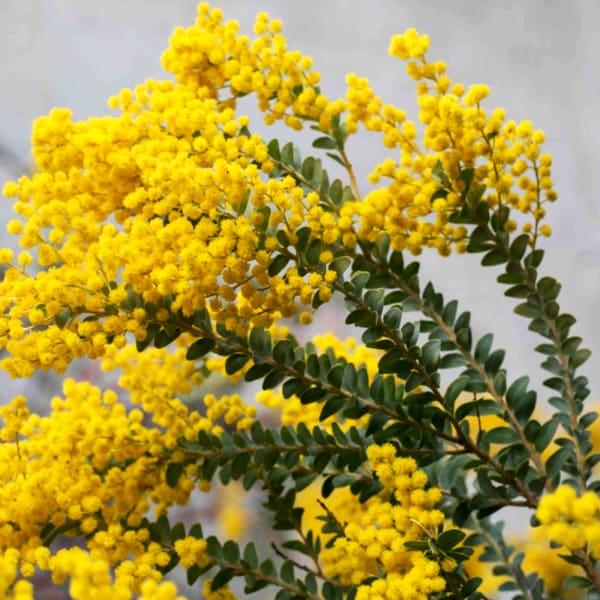 Acacia Mirandole (Bunch of 10)