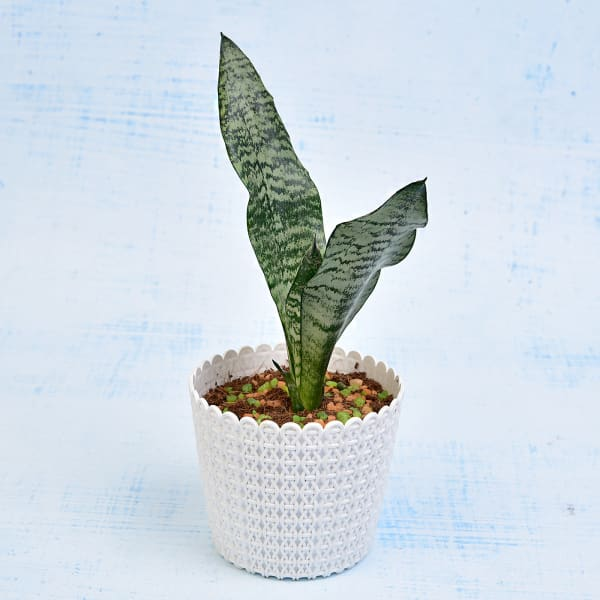 Air Purifying Sansevieria Long Plant (Mild Light/Moderate Water)
