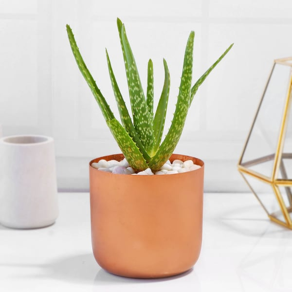 Aloe Vera Plant in Cylindrical Metal Pot