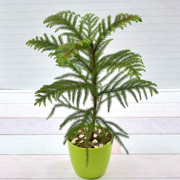 Araucaria Christmas Tree (Moderate light/Moderate Water)