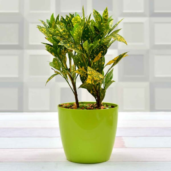 Attractive Croton Baby Plant (Mild Light/Moderate Water)