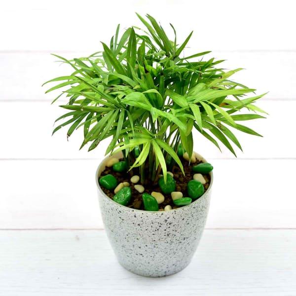 Auspicious Mini Bamboo Palm In Fibre Pot (Mild Light/Moderate Water)