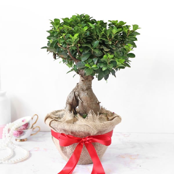 Bonsai Plant in Jute Wrapping with Plastic Planter