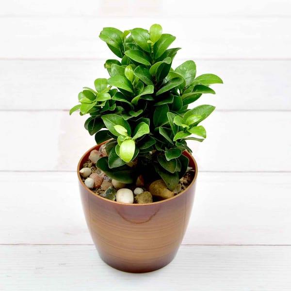 Bright Airpurifying Ficus Katori Dwarf Plant (Mild Light/Moderate Water)