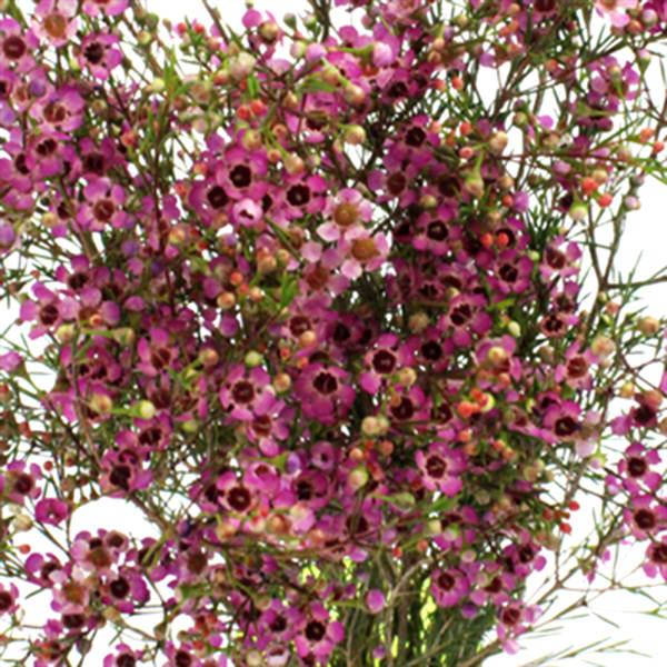 Chamelaucium Emma (Bunch of 10)