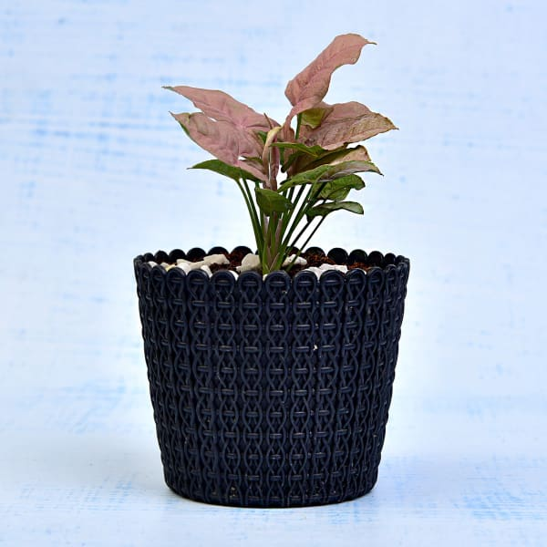Charming Syngonium Podophyllum Red Plant (More Light/Moderate Water)