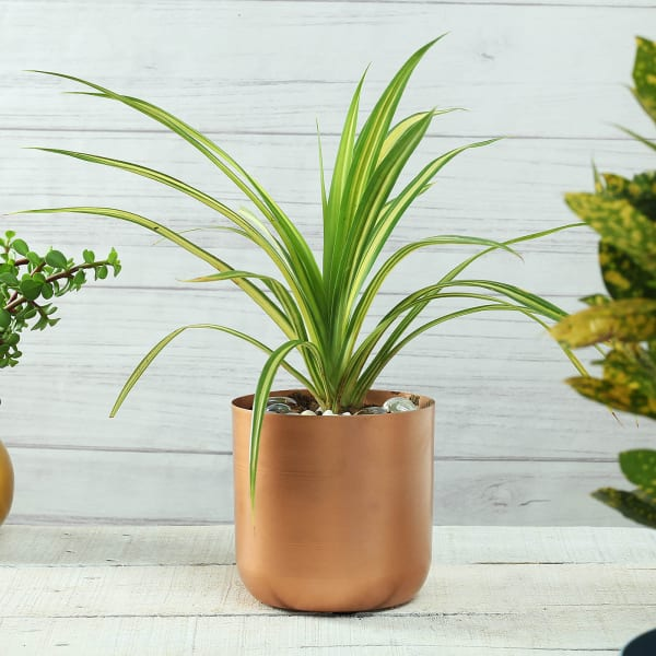 Copper Finish Cylindrical Planter (Without Plant)