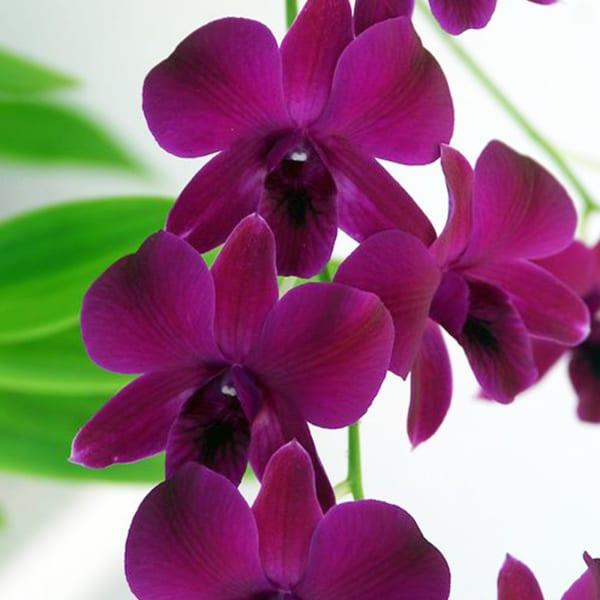 Dendrobium Dark Purple (Bunch of 20)