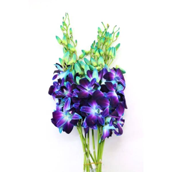 Dendrobium Gal Blue Paint (Bunch of 20)