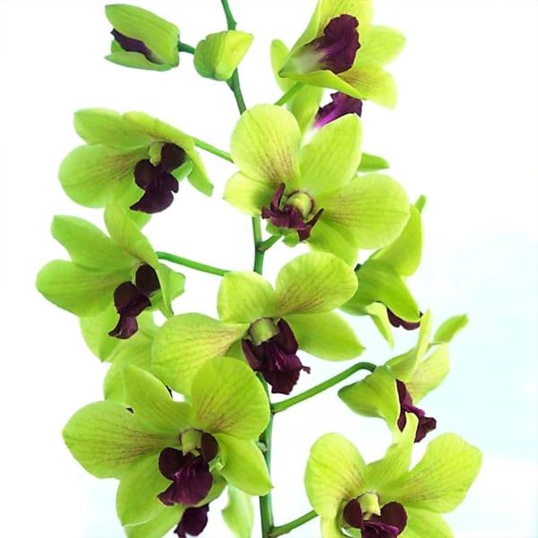 Dendrobium Green (Bunch of 20)