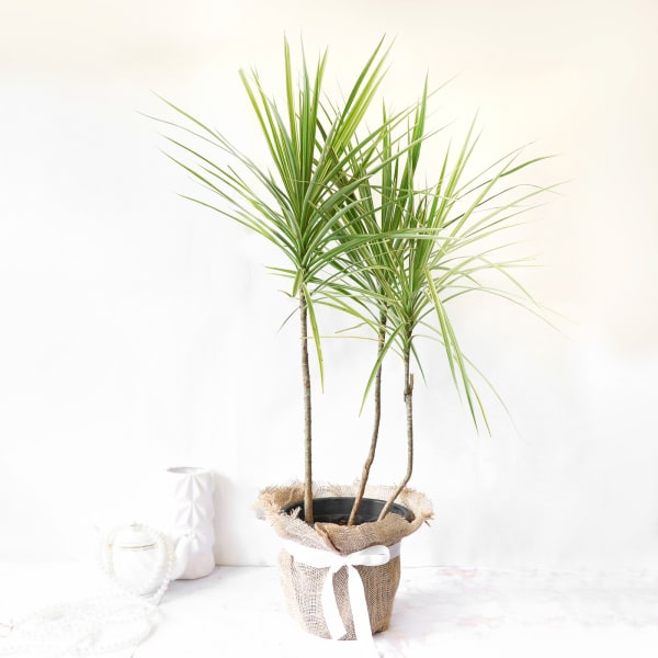 Dracaena Plant in Jute Wrapping with Plastic Planter