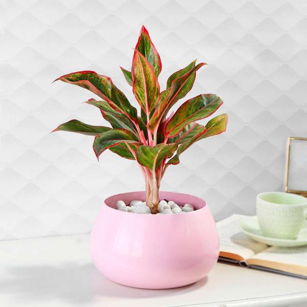 Dracaena Plant in Pink Round Pot