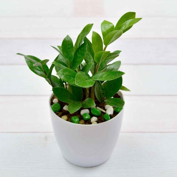 Evergreen ZZ Plant (Less Light/Less Water)
