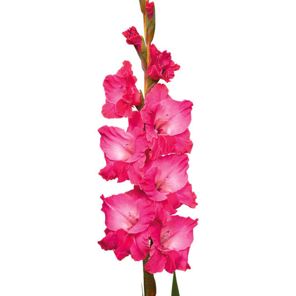 Gladiolus Fairytale Pink (Bunch of 10)