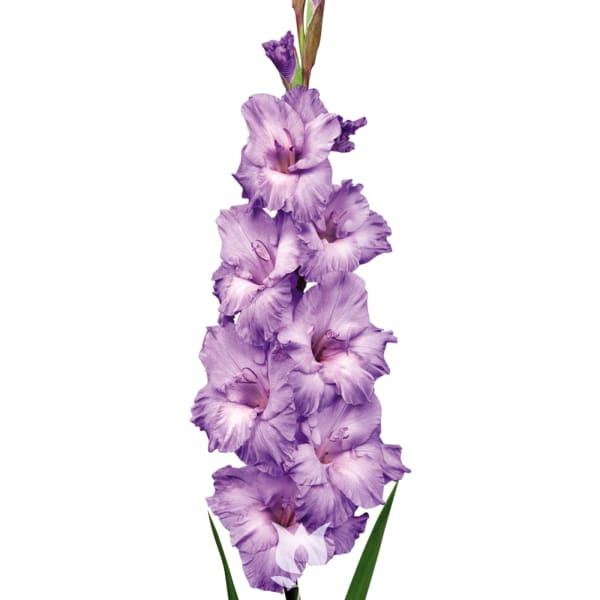 Gladiolus Milka (Bunch of 10)