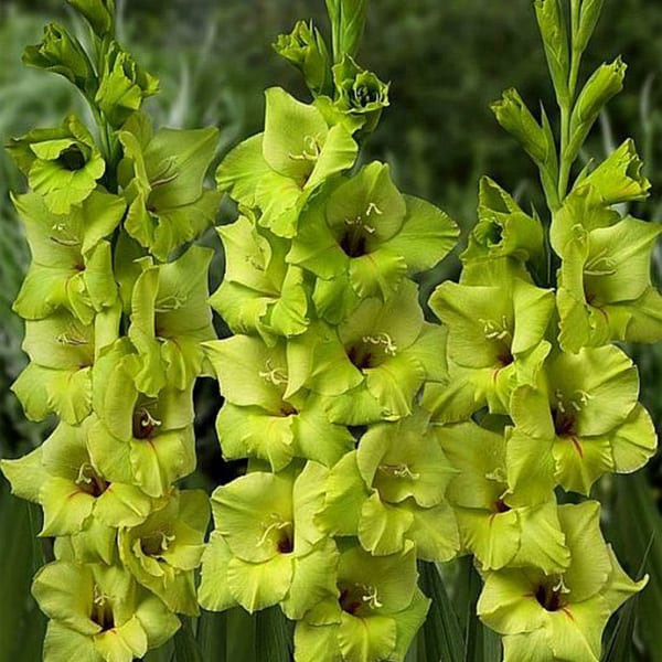 Gladiolus Miss Green (Bunch of 10)