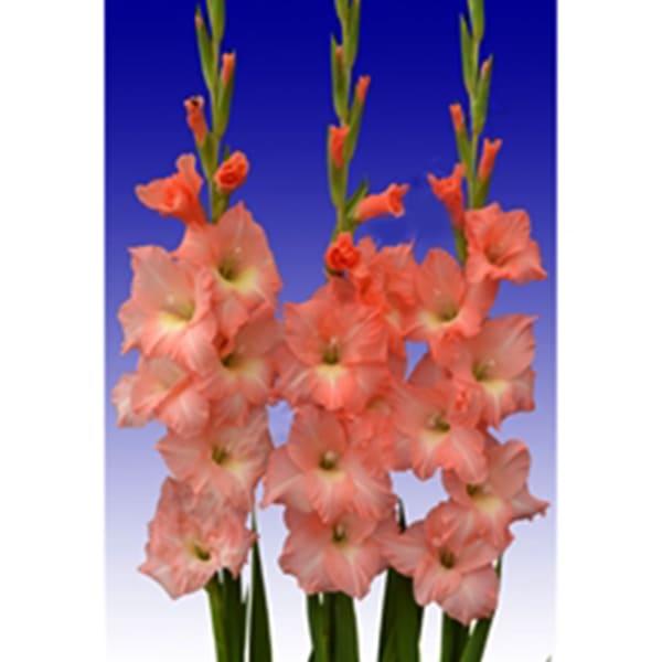 Gladiolus Mon Cher (Bunch of 10)
