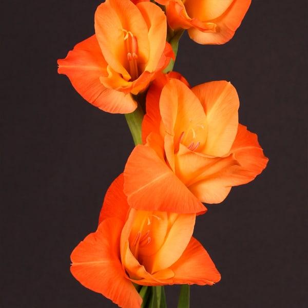 Gladiolus Prince Of Orange (Bunch of 10)