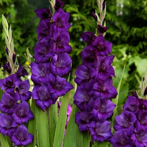 Gladiolus Purple Flora (Bunch of 10)