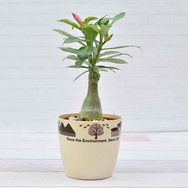 Gorgeous Adenium Plant