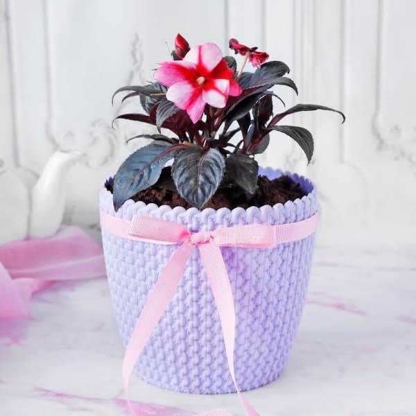 Impatiens Flower Plant in Textured Plastic Planter