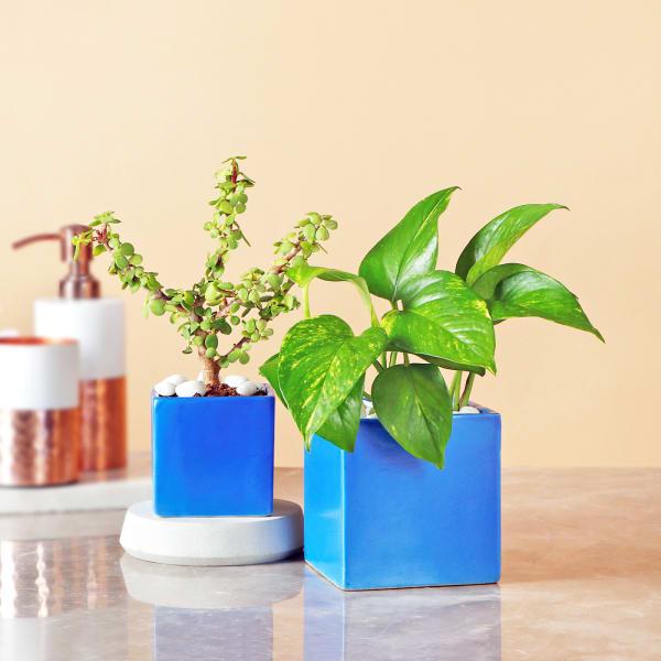 Jade & Money Plant in Rectangular Ceramic Pot