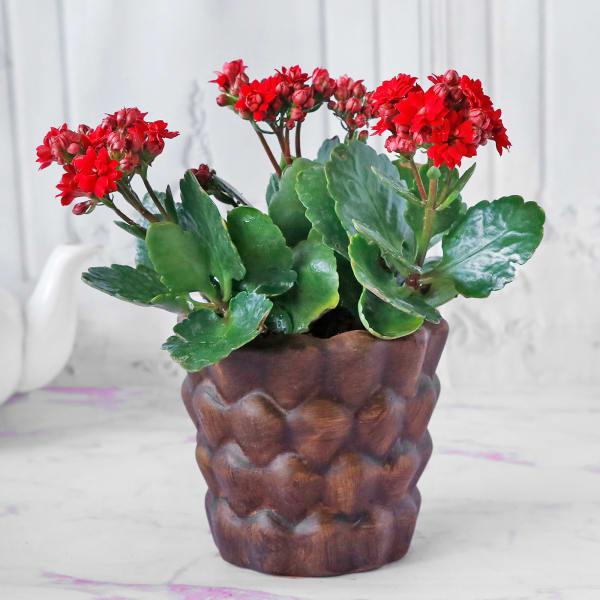 Kalanchoe Flower Plant in Ceramic Planter