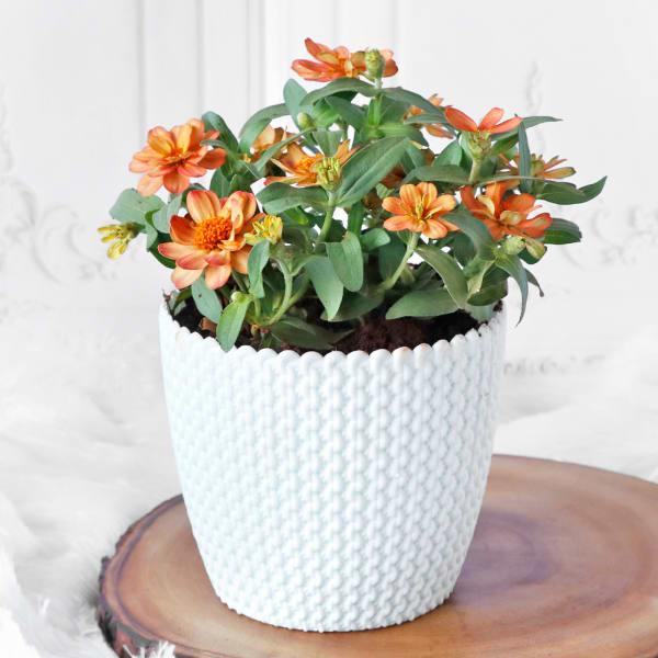 Kalanchoe Flower Plant in Textured Plastic Planter