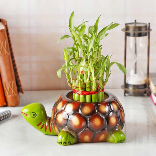 Lucky Bamboo Plant in Designer Turtle Ceramic Planter