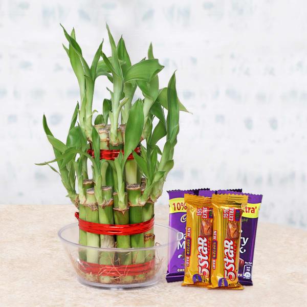 Lucky Bamboo Plant with Cadbury Dairy Milk & 5 Star Chocolates
