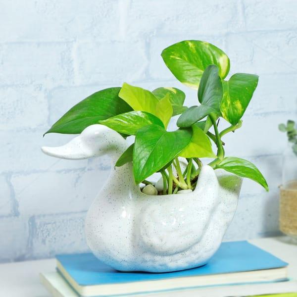 Money Plant in Ceramic Swan Designer Planter